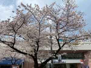 桜|たまプラーザ駅前